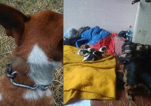 Fena a pět štěňat bez potravy, pes se škrtil na řetězu. Majitelka se odstěhovala a zvířata nechala svému osudu.