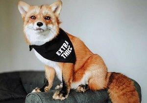Liška Juniper je výstavní mazlíček