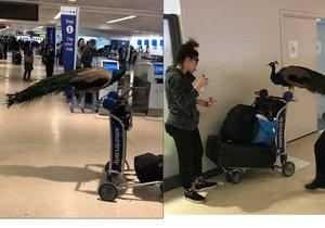 Pasažérka chtěla do amerického letadla propašovat páva, prý jí poskytuje psychickou podporu.