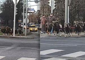 Stádo muflonů se vydalo na výlet pražskou Krčí.