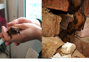 Stovky nezvaných návštěvníků: Ve zdi domu v Libni se skrývali netopýři. Starají se o ně v záchranné stanici