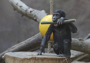 Gorily z pražské zoo umí pěkně dovádět.