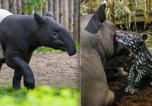 Mladý samec Punťa (2) odjede ze Zoo Praha. Čeká ho život na vzdáleném Tchaj-wanu.