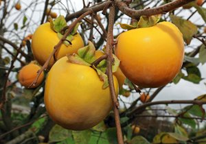 Plody kaki dozrávají koncem září až října.