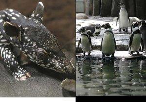 Punťa kvůli mrazům odcestuje z pražské zoo později, tučňáci museli dovnitř.