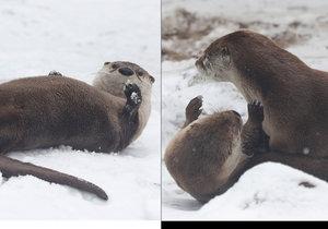 Vydry z pražské zoo dováděly ve sněhu.