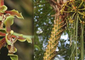 Ve skleníku Fata Morgana vykvetla obrovská orchidej. Voní po skořici.