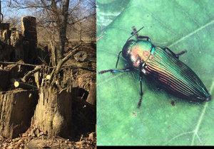 Radnice ve Veselí nad Moravou chrání vzácného brouka: Nechá v parku vykácet na 600 stromů