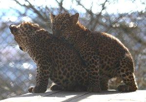 Levharti cejlonští v brněnské zoo dostali jména Aruni (rozbřesk) a Ashanga (děs, hrůza).
