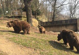 Medvědi hnědí (ilustrační foto)