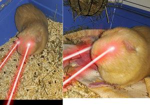 Blesk.cz zjistil, jak je to doopravdy se střílením laserů u rudookých morčat. Zde je foto jako důkaz.