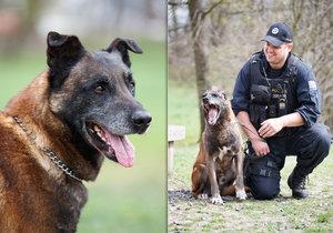 Nejlepsi Policejni Pes V Cesku Slouzi Ve Znojme Kurt Je Tvrdak