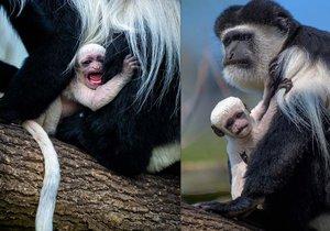 V ZOO se chystají opičí křtiny! Vyberte jméno pro mládě guerézy pláštíkové.