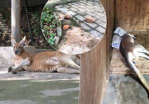 Turisté ukamenovali klokana v zoo! Chtěli, aby skákal.