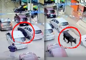 Pozdvižení v Peru: Splašený býk útočil na lidi a vlezl do obchodního centra.