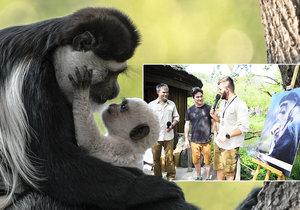 Pražská zoo pokřtila »bílé opičátko Abu«: Kmotrem guerézího kluka se stal Saša Rašilov