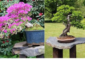 Staletí veteráni z Japonska. V pražské botanické zahradě vystavují 300 let starou bonsaj