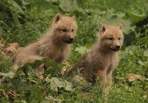 Velmi živo je v brněnské zoo u vlků arktických, narodila se tam hned 4 vlčata.