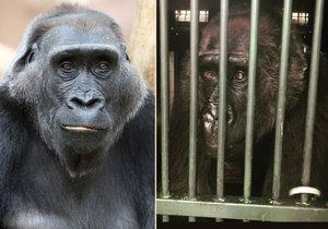 Gorila Kamba se zotavuje po náročném gynekologickém zákroku.