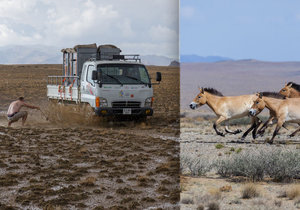 Při převozech koní Převalského do Mongolska čekají na výpravy Zoo Praha mnohé nástrahy.