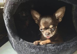 Nejmenší pes světa, čivava Miracle Milly, je vysoká necelých deset centimetrů.