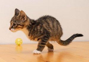 Obě koťata běhají stejně rychle jako jejich zdraví soukmenovci.