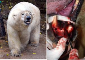 v brněnské zoo zahynul lední medvěd Umca.