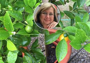 Paní Ivana pěstuje na zahrádce exotické plody.
