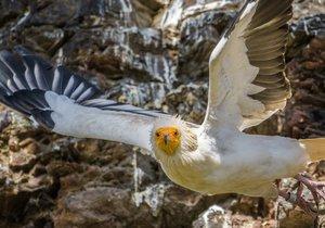 Víkend v Zoo Praha ve znamení dravců: Poznejte svět kondorů a supů