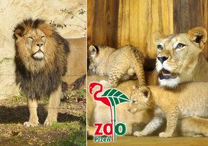 Lvíčata jsou ozdobou plzeňské zoo.