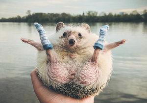 Roztomilý ježeček Mr. Pokee už se svojí paničkou procestoval většinu evropských zemí