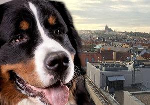Ve čtvrtek se v centru Prahy ztratil bernský salašnický pes slyšící na jméno Calvin. Pomůžete mu navrátit se domů ke smutným páníčkům?