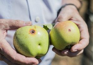 Jak se bránit škůdcům jabloní vám prozradí přímo odborník na rostlinolékařství.