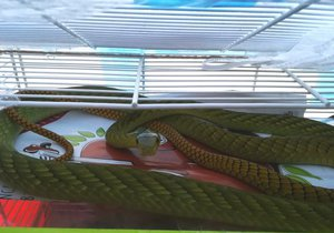 Majitelka jedovaté mamby neměla povolení k chovu! Hada držela v kleci na morčata, říkají svědci