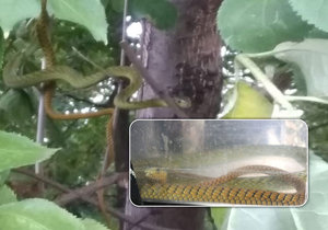 Jedovaté mamby v koruně stromů si všimla žena ze sousedního domu v nedaleké zahrádkářské kolonii.