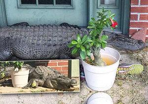 Aligátor přede dveřmi rodinného domu