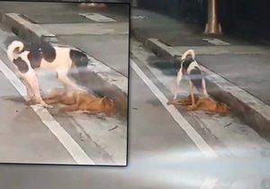 Srdcervoucí video: Zatoulaný psík se snažil probudit svého přejetého parťáka.