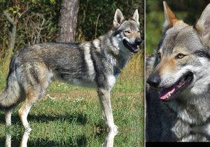 Ve Zdibech se toulá vlk