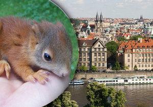 V Praze žije nepočítaně veverek. Podle všeho se jim v metropoli nedaří o nic hůře než jejich příbuzným v přírodě, byť i ve městě na ně číhá lecjaké nebezpečí.