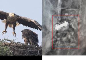 Orli se porvali o území: Rentgen pak odhalil záhadný předmět v břiše jednoho z dravců