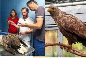 Záhada vyřešena: Orel měl v břiše kroužky z holuba, kterého rozsápal