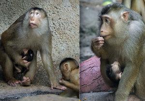 Rodina makaků vepřích z pražské zoo přivítala nového člena: Mamince Hope se narodilo mládě