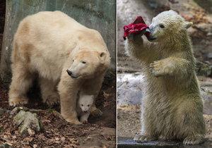 Zoo Brno: Nejcennějším a nejnavštěvovanější jsou lední medvědi