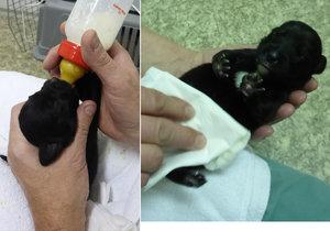 Bezcitná hyena odhodila na ulici dvě týdenní štěňátka! V trojském útulku jim nahrazují maminku