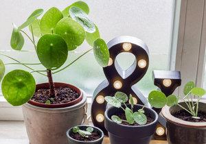 Jak pěstovat pileu, stále oblíbenější pokojovou rostlinu.