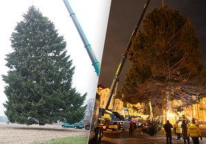 61 let starý smrk na Staroměstském náměstí: Vánočně ozdobený není poprvé