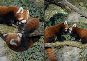 Pandy červené si v Zoo Praha pořádně vyhrají.