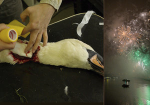 Lidé se baví, zvířata trpí. Jak silvestrovská pyrotechnika ubíjí nejen pražskou zvěř?