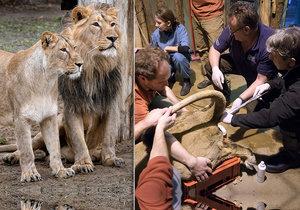 Lví samice Ginni, která v lednu podstoupila umělé oplodnění, porodila mrtvé mládě.