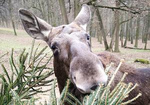 Brněnská zoo dostala 1,5 tisíce neprodaných vánočních stromků. Pochutnávají si na nich hlavně losi, sobi, bizoni a žirafy.